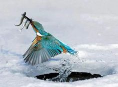 Kingfisher in the snow
