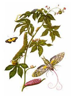 Merian insectes Surinam - Maria Sibylla Merian - Wikipedia, the free encyclopedia