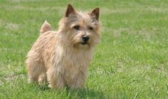 The spirited Norwich is one of the smaller of the Terrier breeds, but he's a sturdy companion who fits perfectly into family life. He has the outgoing nature typical to Terriers and is more friendly than many. He may get along well with kids, cats, and other dogs -- only rats and other vermin need fear him.