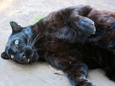 See related links to what you are looking for. Melanistic Animals, Melanism, Albino, Online Images, Color Patterns, Panther, Creatures, Gallery, Cats