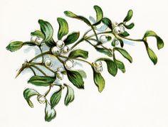 mistletoe - Google Search