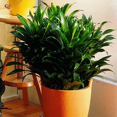 Janet Craig Compacta:  a very small bird nest-like plant about one foot tall with small leaves. Compacta is similar to Janet Craig but much smaller. This variety is slow growing and very durable. It has been around for about 25 years. We see it grown more as a low table top plant in 6-inch pots and also in multiples of three's in larger pots.