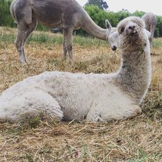 Cute baby Alpaca eating her food - Alpacas, Baby Alpaca, Animals And Pets, Cute Babies, Food, Pets, Essen, Meals, Funny Babies