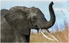 Elephant Trunk Of African Elephant Wallpaper | elephant trunk of african elephant wallpaper 1080p, elephant trunk of african elephant wallpaper desktop, elephant trunk of african elephant wallpaper hd, elephant trunk of african elephant wallpaper iphone