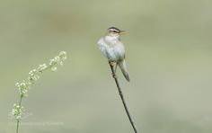 Don't Want Your Flowers !! - This lovely little Sedge Warbler refused my gift :-)  Best wishes  Harry