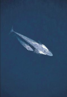 Blue Whale. Twice as large as the biggest dinosaur