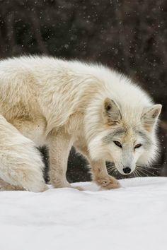 Arctic Fox (by Daniel Parent on 500px)