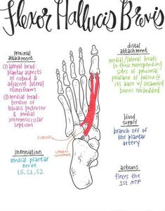 Flexor Hallucis Layer of Plantar Intrinsic Muscles Yoga Anatomy, Human Body Anatomy, Human Anatomy And Physiology, Muscle Anatomy, Anatomy Study, Psoas Iliaque, Muscular System Anatomy, Physical Therapy School, Message Therapy