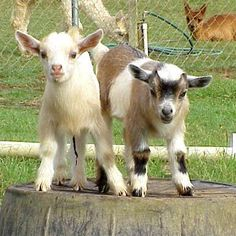 miniature goat | Question about miniature goats & sheep and big back yards downtown ...