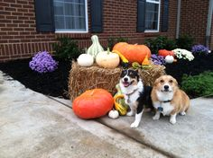Guess which corgi just go in trouble?