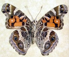 American Painted Lady Vanessa Virginiensis by REALBUTTERFLYGIFTS, $29.99