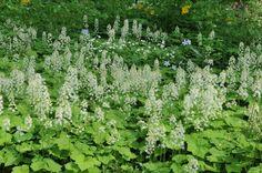 U bent op zoek naar een Tiarella cordifolia (perzische muts)? Tuincentrum Maréchal! ✔ Eigen kwekerij ✔ LAGE prijzen ✔ Uitgebreide planteninformatie