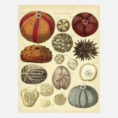 "Colorful Sea Urchins by Adam's Ale Art - This vintage-style print was reproduced from a 1788 publication by James Barbut. Unframed print measures 12"" wide x 17"" high. Image measures 12"" wide x 16"" high. Matte finish.  Material:  Expressions 100/100 Weight Cardstock and Pigment.  Print type: Digital ($21/$24 retail price)"
