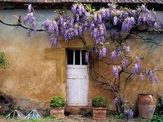 Wisteria growing on the wall of designer Gloria Stewart's Dordogne manor house
