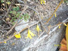Forsythias are in full bloom.
