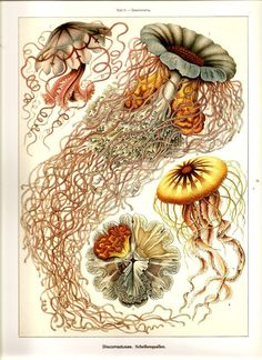 Ernst Haeckel 2010 Famous JELLYFISH Art Print Beautiful Colored Book PLATE 7 8 Gorgeous Jellyfishes in Blue Yellow Rust and Ivory