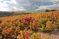 Beaujolais vineyards in Burgundy-Franche-Comte © Natalya Korolevskaya / Dreamstime Beaujolais Nouveau, France, Natural Wonders, Vineyard, Burgundy, True Food, Trivia, Nature, Food Porn