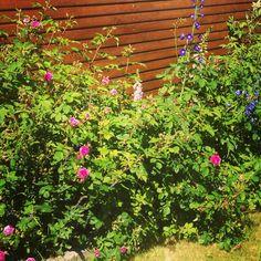 Garden, roses