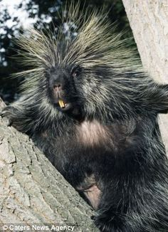 North American porcupine. Noooo, dont take my picture. Im having a bad hair day!!