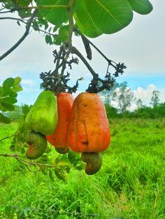 pé que da frutas é o que mais leva pedrada. Foto: Vanessa Toginho