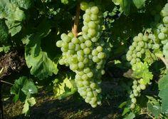 """Molte grandi storie iniziano con """"C'era una volta un re…"""" Oggi vi  racconterò di un vitigno le cui radici sono legate alle imprese di un  re: Pietro IV d'Aragona che nel 1300 durante il regno di Spagna occupò  l'isola di Sardegna.Dobbiamo a lui l'introduzione della varietà di uva Torbato nelle zone della piana di Alghero."""