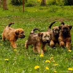 Wheaten Terrier Puppies - 8 weeks old by Vincent Dallmann, via Flickr