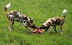 Animal You: African Wild Dog
