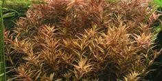Rotala rotundifolia - Tropica Aquarium Plants