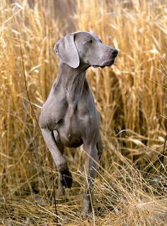 This could be a phot This could be a photo of my weime.LOVE it when she points like this! (Yes my name is Weimer and i have a Weimaraner. Weimaraner Puppies, Dogs And Puppies, Doggies, Blue Weimaraner, Labrador Puppies, Retriever Puppies, Corgi Puppies, I Love Dogs, Cute Dogs
