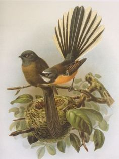 Black and pied fantails (piwakawaka) from Buller's Birds at New Zealand Fine Prints