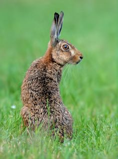 Cautious hare in a meadow Wild Rabbit, Jack Rabbit, Rabbit Art, Hare Images, Hare Pictures, Animals And Pets, Baby Animals, Cute Animals, Hare Illustration