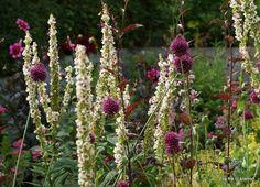 Verbascum chaixii album with Allium Sphaerocephalon