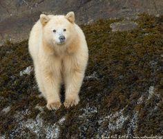 Kermode Bear (Spirit Bear)