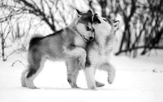 Love Husky's! Want one soo bad <3