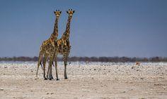 Zoek de verschillen, twee giraffes in Etosha NP, Namibie