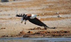 African fish eagle in flight over Chobe river