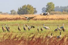 What's New at Calrice.org: New Guest Blog- Galt Winter Bird Festival fast approaching - Sandhill Cranes