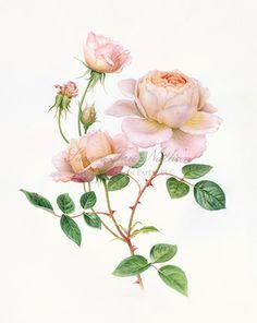 Contemporary Botanical Art - Susan Frei Nathan Fine Works on Paper  - KAREN KLUGLEIN, Tamora Rose, 2011 Watercolor on vellum 14 x 10 inches