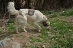 Aidi Dog Breed , History, Grooming, Health Issues and Living ...