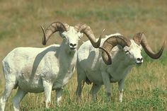 dall sheep  pair of big rams