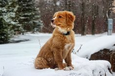 The Nova Scotia Duck Tolling Retriever. Follow @lincolntoller on Instagram