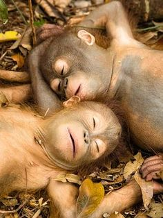 Orphaned baby orangutans rescued