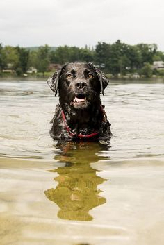 © Silent Moment Photography | Black Lab, #retriever, Water dog, dog swimming in lake