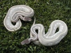 scaleless+ball+python | Will keep a Mystic on my impossible wish-list, and hope in the future ...