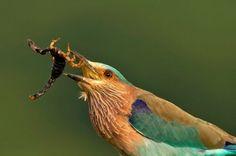 Indian Roller Small Snakes, Small Birds, Peacock Eggs, Indian Roller, Bare Tree, Bird Species, Wild Birds, Scorpion, Bird Feathers