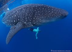 whale shark pictures | Whale Sharks and a Planet in Peril