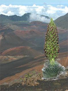 """Global Warming May Have Severe Consequences for Rare Haleakalā Silversword Plants...New research published this week warns that global warming may have severe consequences for the silversword in its native habitat...""The silversword example foreshadows trouble for diversity in other biological hotspots,""...""and it also illustrates how even well-protected and relatively abundant species may succumb to climate-induced stresses..."""