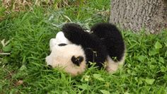 Baby Panda Rolling [having a bad day? here is a baby panda rolling down a hill. now, don't you feel better? you should - it's science. -jl-]