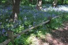Bettinas blad. Bluebells in Kew Botanical Gardens, London. And take a look at the lovely fence.