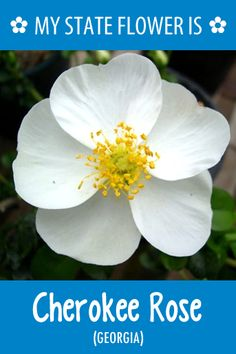 Georgia's state flower is the Cherokee Rose